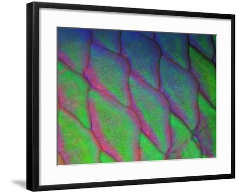 Parrot Fish (Scarus Gibbus)-Andrea Ferrari-Framed Art Print