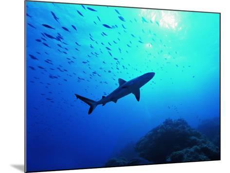A Young Specimen of Gray Shark-Andrea Ferrari-Mounted Photographic Print