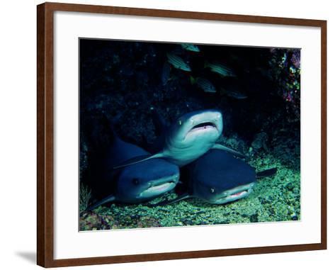 White Fin Sharks of the Reef (Trianodon Obesus)-Andrea Ferrari-Framed Art Print