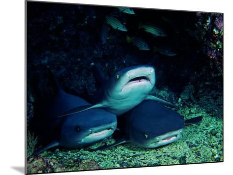 White Fin Sharks of the Reef (Trianodon Obesus)-Andrea Ferrari-Mounted Photographic Print