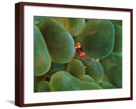 Symbiont Shrimp Caught by the Tentacles of a Bubble Coral-Andrea Ferrari-Framed Art Print