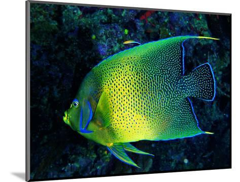 Crescent Angel Fish (Pomacanthus)-Andrea Ferrari-Mounted Photographic Print