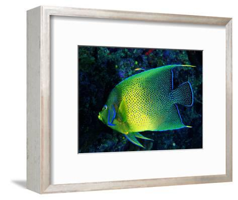 Crescent Angel Fish (Pomacanthus)-Andrea Ferrari-Framed Art Print