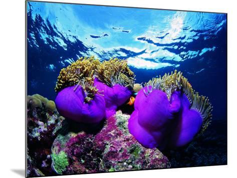 Sea Anemones (Heteractis Magnifica) and Clown Fish (Amphiprion Nigripes)-Andrea Ferrari-Mounted Photographic Print