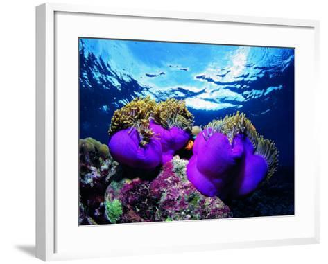 Sea Anemones (Heteractis Magnifica) and Clown Fish (Amphiprion Nigripes)-Andrea Ferrari-Framed Art Print