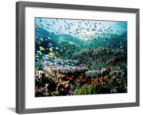 Madreporic Formation at Sipadan Island with Thousands of Little Chromis and Pseudanthias Fishes-Andrea Ferrari-Framed Art Print