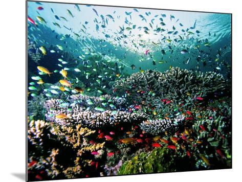 Madreporic Formation at Sipadan Island with Thousands of Little Chromis and Pseudanthias Fishes-Andrea Ferrari-Mounted Photographic Print