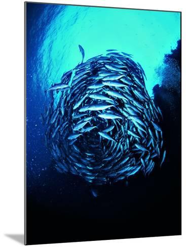 A Shoal of Jack Crevalle Crevalle Jack Fishes (Caranx Sexfasciatus)-Andrea Ferrari-Mounted Photographic Print