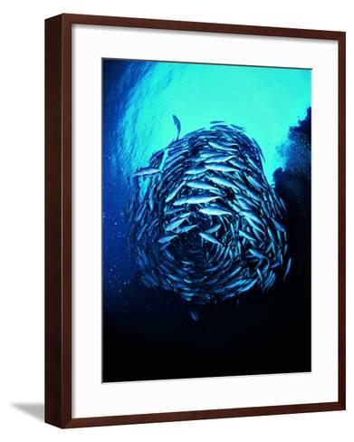 A Shoal of Jack Crevalle Crevalle Jack Fishes (Caranx Sexfasciatus)-Andrea Ferrari-Framed Art Print