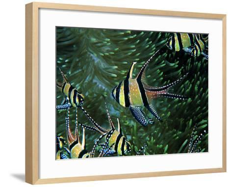 Cardinal Fishes of the Banggai-Andrea Ferrari-Framed Art Print