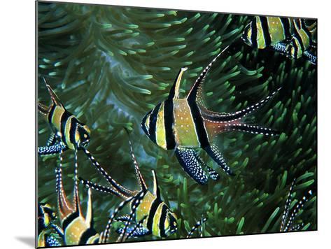 Cardinal Fishes of the Banggai-Andrea Ferrari-Mounted Photographic Print