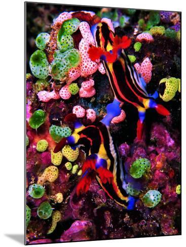 Mating of Two Specimen of Nembrotha Purpureolineolata-Andrea Ferrari-Mounted Photographic Print