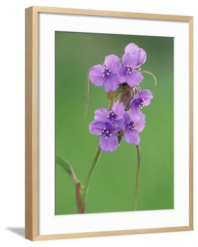 Prairie Spiderwort, Tradescantia Occidentalis, Texas Hill Country USA-Adam Jones-Framed Art Print