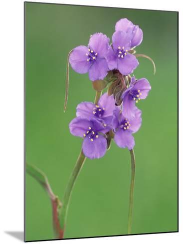 Prairie Spiderwort, Tradescantia Occidentalis, Texas Hill Country USA-Adam Jones-Mounted Photographic Print