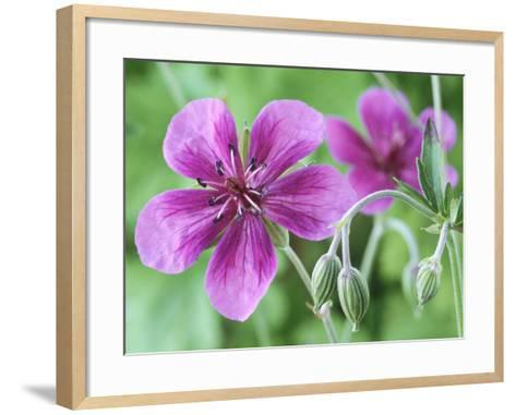 Cranesbill, Close-up of Purple Flowers and Buds-Chris Burrows-Framed Art Print
