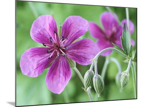 Cranesbill, Close-up of Purple Flowers and Buds-Chris Burrows-Mounted Photographic Print