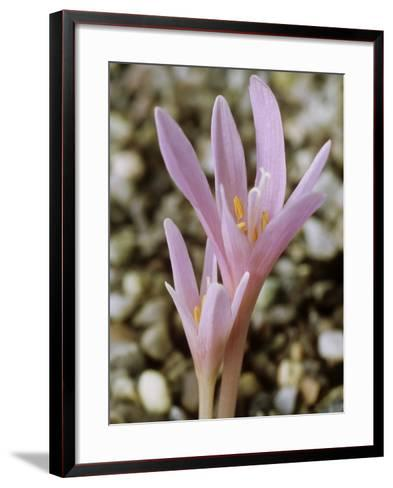 Colchicum Corsicum, October-Chris Burrows-Framed Art Print