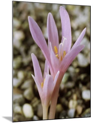 Colchicum Corsicum, October-Chris Burrows-Mounted Photographic Print