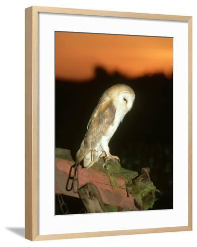 Barn Owl, Perched on Plough at Sunset-Mark Hamblin-Framed Art Print