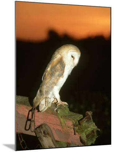 Barn Owl, Perched on Plough at Sunset-Mark Hamblin-Mounted Photographic Print