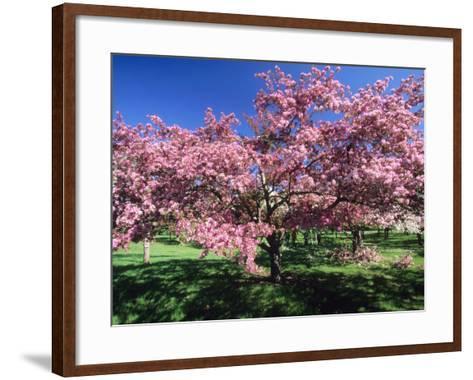 Prunus Tree, Montreal, Quebec, Canada-Philippe Henry-Framed Art Print