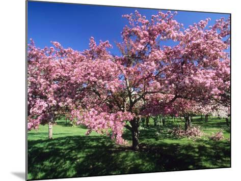 Prunus Tree, Montreal, Quebec, Canada-Philippe Henry-Mounted Photographic Print