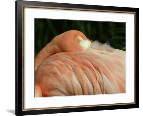 Greater Flamingo, Bill Tucked Under Wing-Mark Hamblin-Framed Art Print