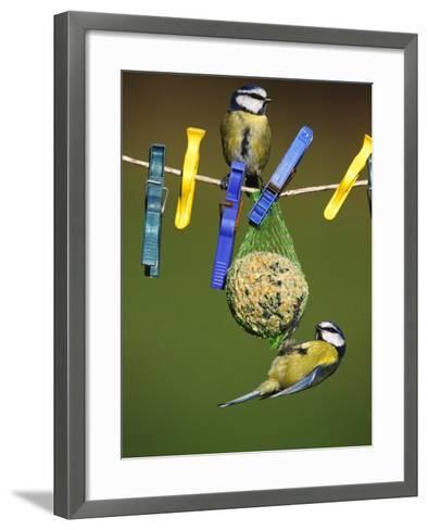 Blue Tits, Feeding on Feeder-Mark Hamblin-Framed Art Print