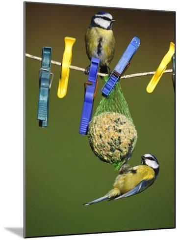 Blue Tits, Feeding on Feeder-Mark Hamblin-Mounted Photographic Print