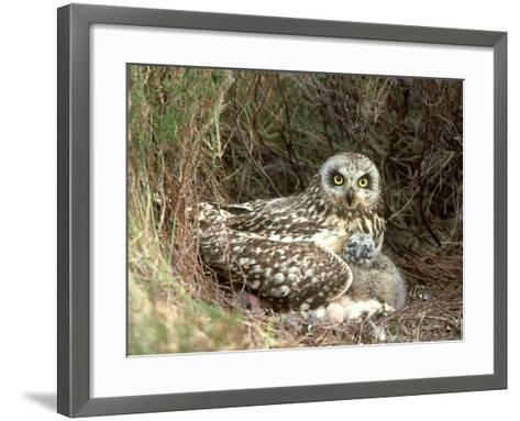 Short-Eared Owl at Nest with Chicks in Heather, UK-Mark Hamblin-Framed Art Print