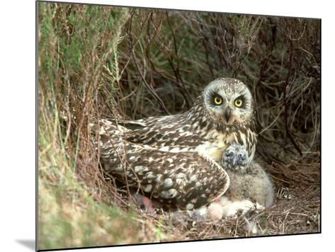 Short-Eared Owl at Nest with Chicks in Heather, UK-Mark Hamblin-Mounted Photographic Print