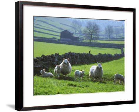 Sheep Ovis Aries-Mark Hamblin-Framed Art Print