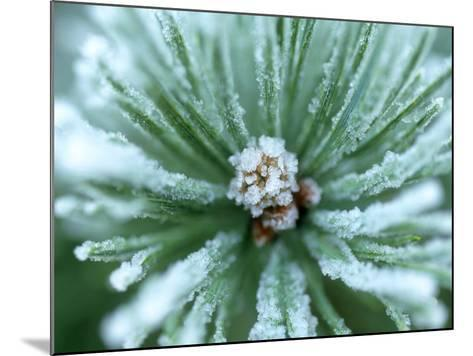 Frost on Scots Pine Needles-Mark Hamblin-Mounted Photographic Print