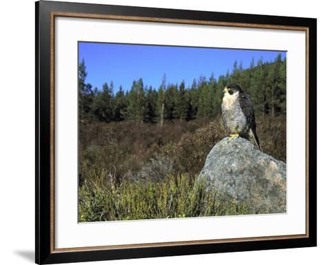 Peregrine Falcon, Adult Male on Rock Showing Moorland Habitat, Scotland-Mark Hamblin-Framed Art Print
