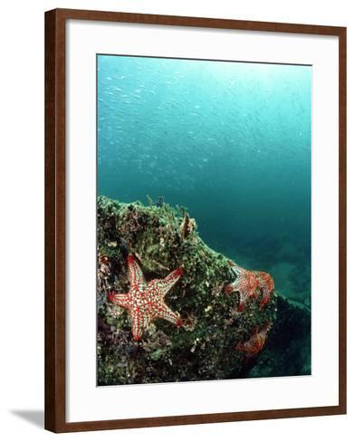Starfish, and Sardine Panorama, Mexico-Tobias Bernhard-Framed Art Print