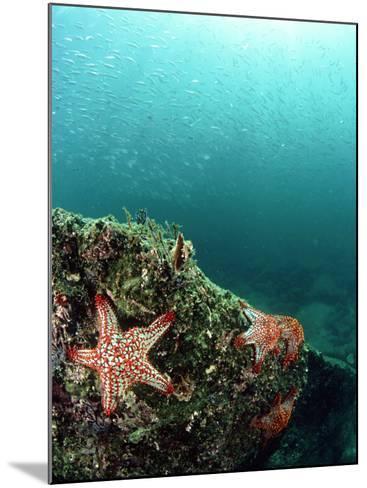 Starfish, and Sardine Panorama, Mexico-Tobias Bernhard-Mounted Photographic Print