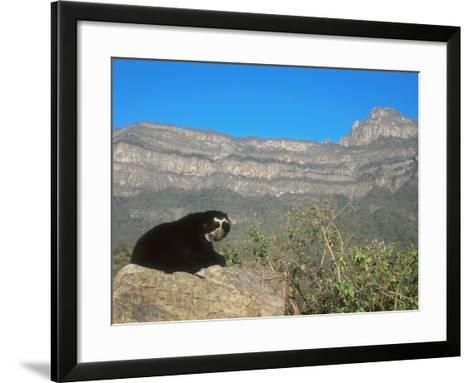Spectacled Bear Male in Dry Forest Habitat, Peru-Mark Jones-Framed Art Print
