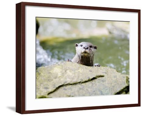Asian Short Clawed Otter, Curious Otter Peering Over Rock, Earsham, UK-Elliot Neep-Framed Art Print