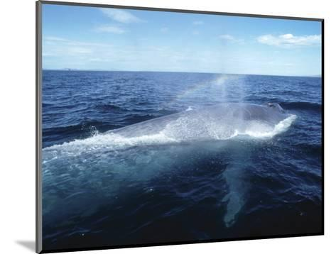 Blue Whale, Blowing, Sea of Cortez-Mark Jones-Mounted Photographic Print