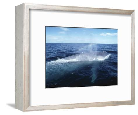 Blue Whale, Blowing, Sea of Cortez-Mark Jones-Framed Art Print