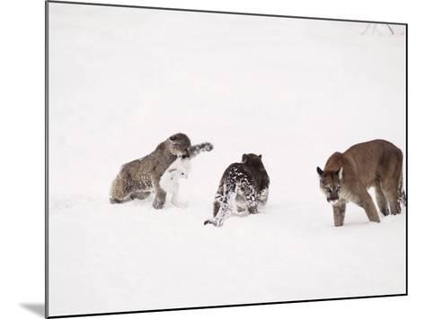 Mountain Lion, with Cubs in Snow, USA-Mary Plage-Mounted Photographic Print