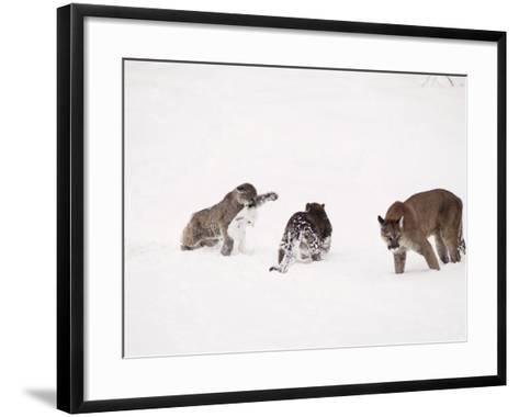 Mountain Lion, with Cubs in Snow, USA-Mary Plage-Framed Art Print