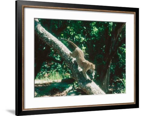 Leopard, Carrying 4-Week Old Cub Down Tree Over River, India-Mary Plage-Framed Art Print