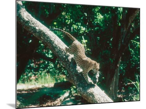 Leopard, Carrying 4-Week Old Cub Down Tree Over River, India-Mary Plage-Mounted Photographic Print