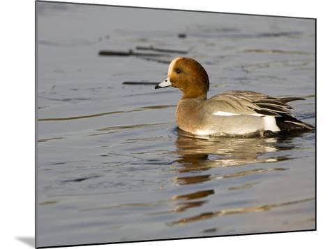 Wigeon, Male in Breeding Plumage, UK-Mike Powles-Mounted Photographic Print