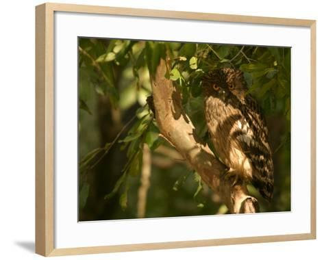 Brown Fish Owl, Owl Perched on Branch in Warm Dappled Light, Madhya Pradesh, India-Elliot Neep-Framed Art Print