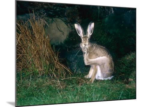 Brown Hare, Grooming, UK-Mary Plage-Mounted Photographic Print