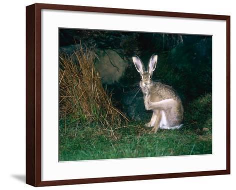Brown Hare, Grooming, UK-Mary Plage-Framed Art Print