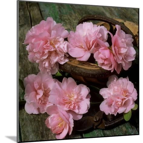 Pale Pink Camellia Flowers with Small Garden Trug and Secateurs on Rustic Table-James Guilliam-Mounted Photographic Print