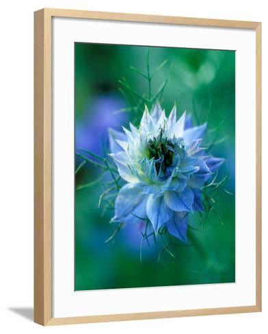 Nigella Damascena (Love-In-A-Mist), Close-up of Blue Annual Flower-Lynn Keddie-Framed Art Print